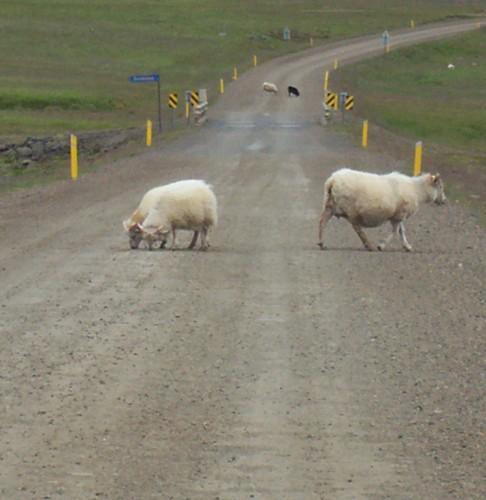 Das Bild zeigt Schafe, die auf einer Schotterpiste vor dem Auto rumlaufen