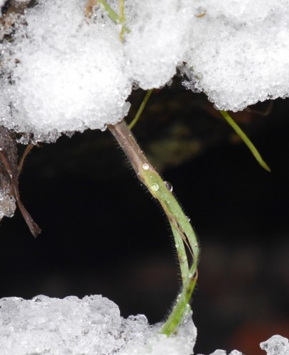 Das Bild zeigt oben und unten Schnee, dazwischen ist ein Stängel. Auf diesem sind Wassertropfen erkennbar