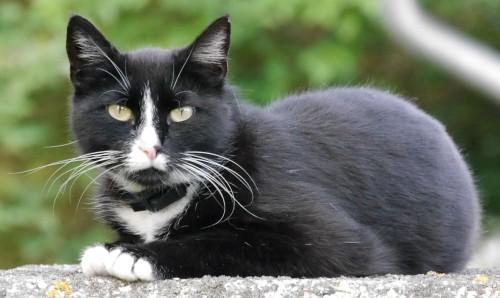 Das Bild zeigt eine schwarze Katze mit weißer Brust und weißen Foten, die auf einem Pfoste sitzt und aufmerksam zum Fotografen schaut.