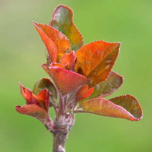 Das Bild zeigt die austreibenden Blägger eines Apfelbaums, der Hintergrund ist Grün