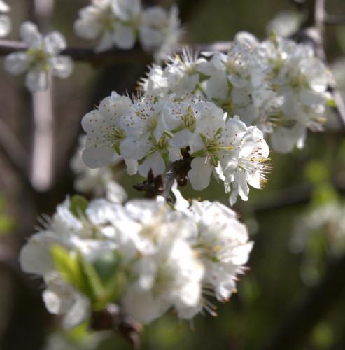 Das Bild zeigt Blüten eines Obstbaums auf einem Ast, der auf den Fotografen zuwäscht. Die mittlere Blüte ist scharf, die vordere und die hintere Blüge ist unscharf.