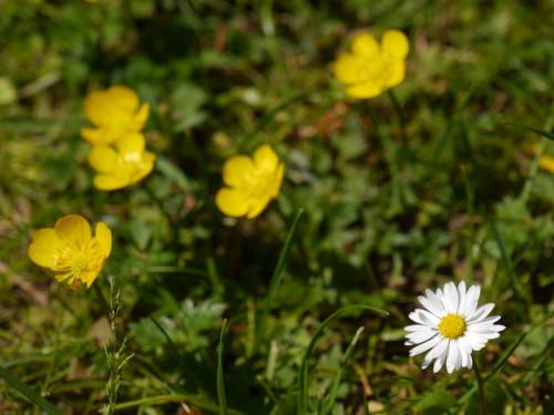 Das Bild zeigt Blumen auf einer Wiese, rechts unten ist ein Gänseblümchen, welches Scharf abgebildet wird. Oben und in der Mitte sind gelbe Blümchen, die unscharf sind