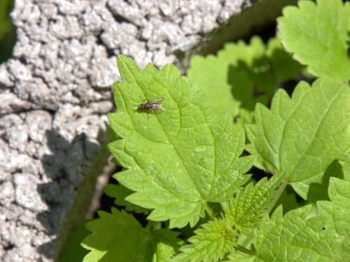 Das Bild zeigt die grünen Blätter von Jungen brennesseln, auf einem der Blätter sitzt eine Fliege