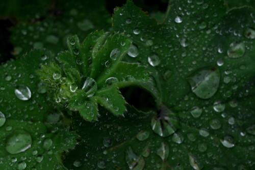 Das Bild zeigt Wassertropfen auf und in grünen Blättern