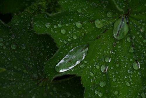 Das Bild zeigt einzele Wassertropfen und Kugeln auf der Oberfläcke von grünen Blättern