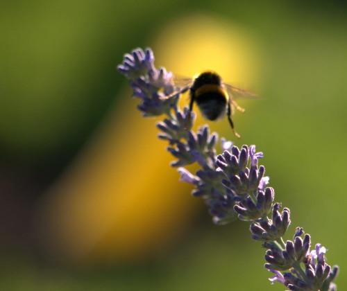 Das Bild zeigt eine Hummel im Landeanflug auf einen Lavendel-Zweig. Die Hummel und Teile des Lavendels sind unscharf, im Hintergrund ist auf Höhe der Hummel irgendwas unscharfes gelbes.