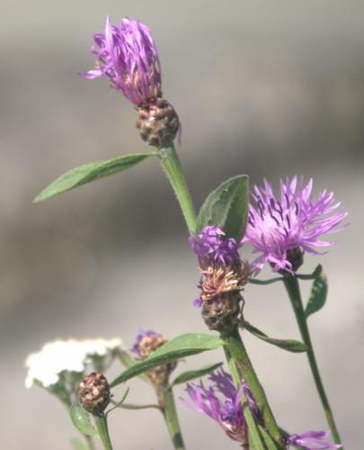 Das Bild zeigt mehrere Blüten in Lila und eine in Weiß.