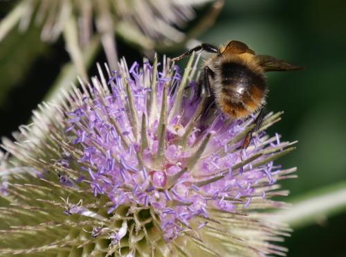 Das Bild zeigt eine Hummel auf einer lilafarbenen Blüte, die schon teilweise verblüt ist. Sie zeigt dem Fotografen ihren Rücken/Hinterteil