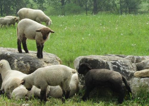 Das Bild zeigt eine Gruppe von Schafen die an und auf steien liegen und fressen oder so. Eines der Schafe ist schwarz.