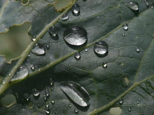 Das Bild zeigt Wassertropfen auf dem durchlöcherten Blatt eines Weißkohls