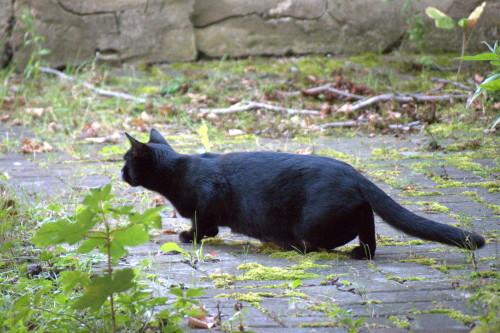 Das Foto zeigt eine schwarze Katze auf einer leicht überwuchterten Pflaster-Fläche, die sich gerade anschleicht.