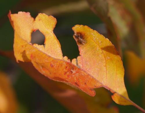 Das Bild zeigt ein gelbes, leicht zerrissenes Blatt an einem Baum, die Blätter im Hintergrund sind unscharf.