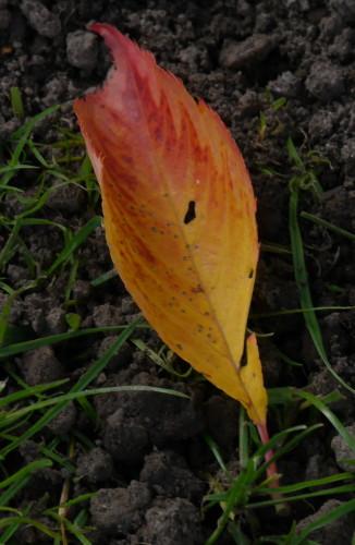 Das Bild zeigt rein gelb/rot gefärbtes Blatt, welches auf der Erde liegt. Ein paar Grashalme durchbrechen die Erde.