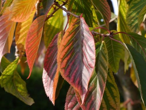 Das Bild zeigt bunte Blätter an einem Baum, die Blätter verfärben sich langsam rötlich
