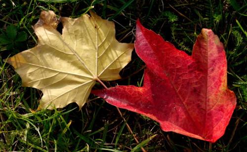 Das Bild zeigt zwei Blätter, ein rotes und ein gelbes, welche nebeneinander im Gras liegen