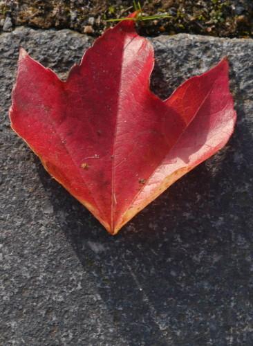 Das Foto zeigt ein rotes Blatt, welches auf einem grauen Pflasterstein liegt