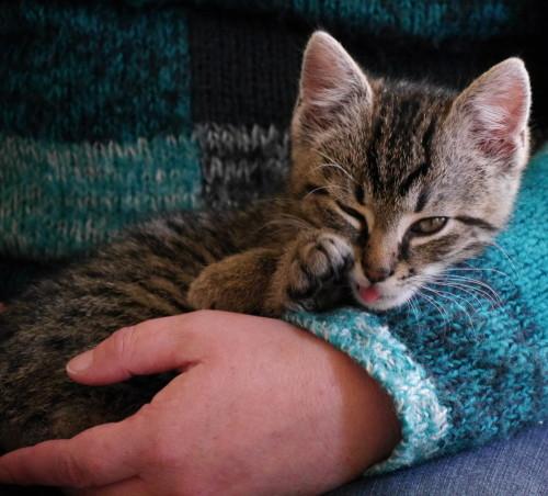 Das Bild zeigt eine kleine, getigerte Katze die im Arm eines Menschen liegt. Ein Auge ist offen, eins geschlossen und die Zungenspitze kommt aus dem Mäulchen.