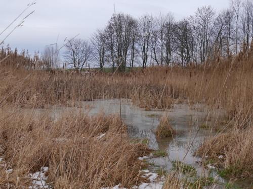 Das Foto zeigt einen kleinen, fast zugefrorenen Tümpel inmitten von verdorrtem Schilf.