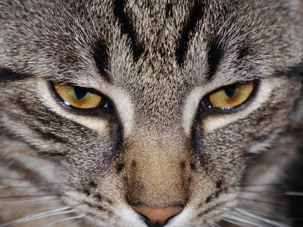 Das Foto zeigt die Augenpartie und die Nase eines Katers, oberhalb der Augen sieht man die Stirn mit einem M