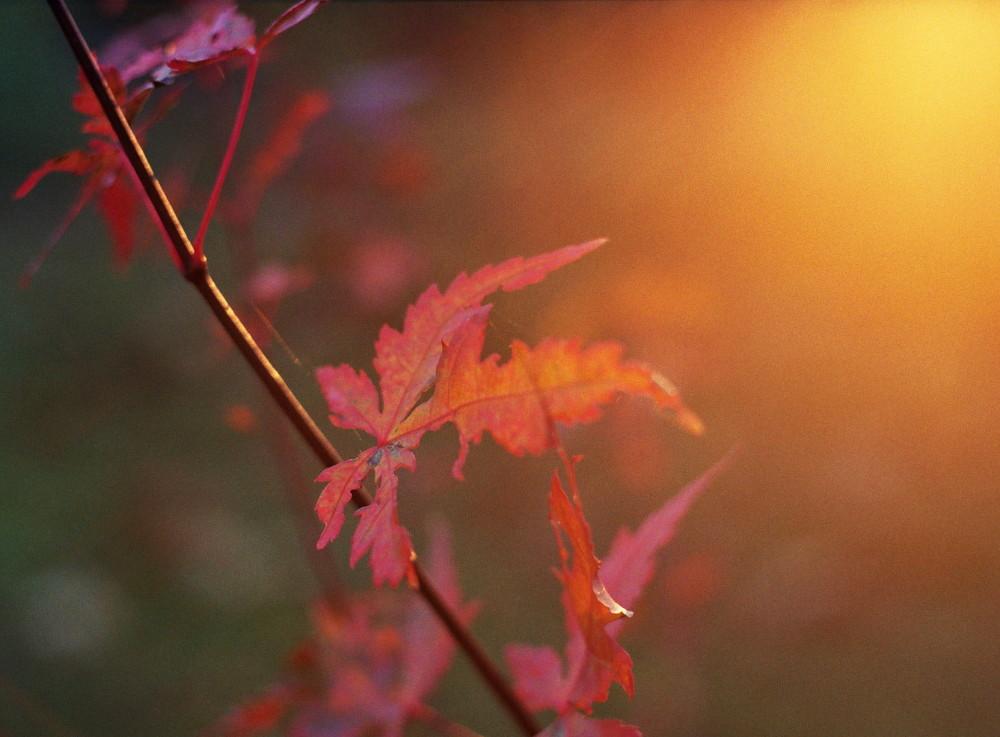 Das Foto zeigt vom Herbst Rot-Gelb verärbte Blätter an einem Zweig im Gegenlicht, auf der rechten Seite ist die Sonne als großer, Gelber Bereich