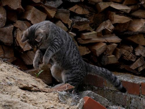 Das Foto zeigt eine grau-schwarz getigerte Katze beim Sprung auf einem Sandberg, im Hintergrund sieht man einen Holzstapel