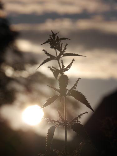 Das Foto zeigt eine große Brennessel im Gegenlicht. Die Sonne ist mit auf dem Bild, die Brennessel fast eine Silouette.