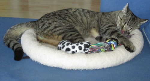 Das Foto zeigt eine grau-schwarz getigerte Katze, welche in einem Katzenbett schläft. Das Katzenbett steht auf einem blauen Sofa.