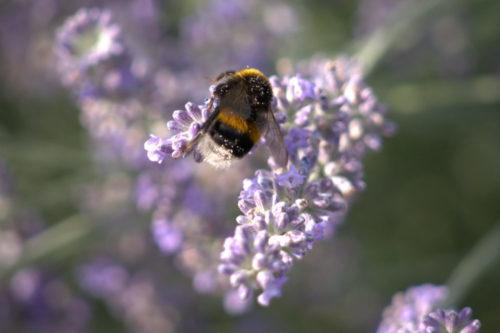 Das Foto zeigt eine Hummel auf einer Lavendelblüte. Im Fell der Hummel kann man Blütenpollen erkennen.
