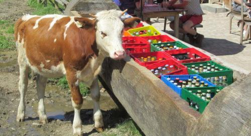 Das Foto zeigt eine Kuh an einer Tränke auf einer Alm (die Tränke ist ein ausgehölter Baumstamm). In der Tränke stehen aber diverse Getränkekisten der Almgaststätte...