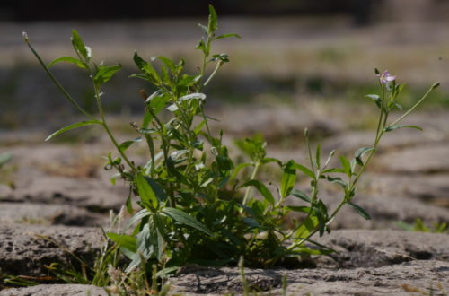 Das Foto zeigt eine Pflanze, die aus den Fugen von Kopfsteinpflaster wächst. Auf der rechten Seite kann man eine kleine Blüte erkennen