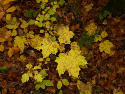 Das Foto zeigt den Waltboden, der von herbstlich-gelben Blättern bedeckt ist