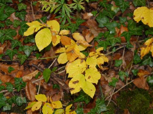 Das Foto zeigt Efeu auf dem Boden, auf dem Efeu liegen herbstlich-gelbe Blätter