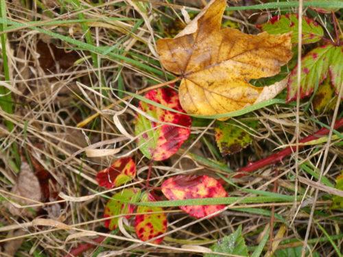 Das Foto zeigt gelblicehn Rasen, auf dem Rasen lieben Blätter in grün, rot und gelb.
