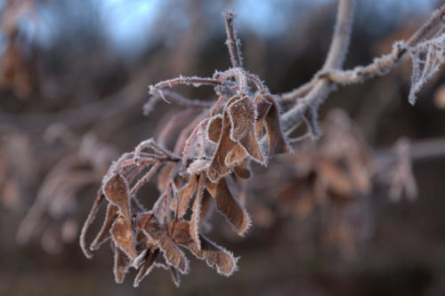 Das Foto zeigt Eicheln, die vom Frost überzogen wurden.