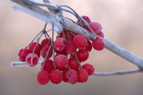 Das Foto zeigt rote Beeren, die vom Frost überzogen sind, an einem Ast.