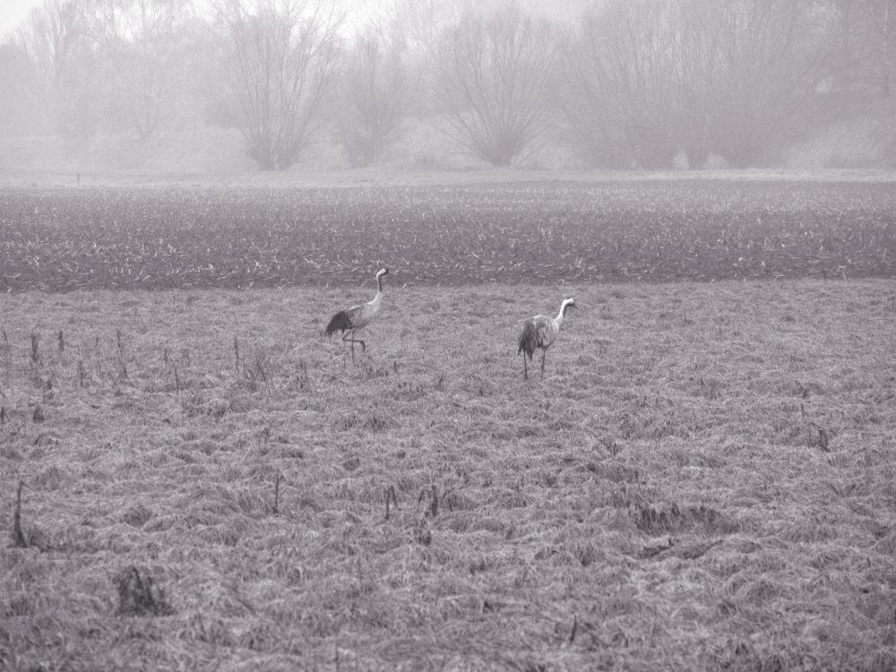 Das s/w-Foto zeigt 2 große Vögel mit langen Beinen, die im Nebel über eine Wiese gehen.
