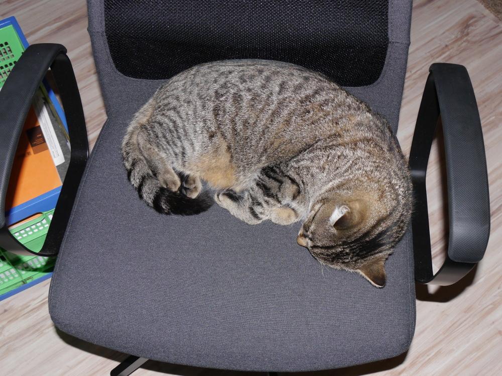 Das Foto zeigt einen Kater, der sich auf einem Bürostuhl halb zusammengerollt hat und jetzt schläft