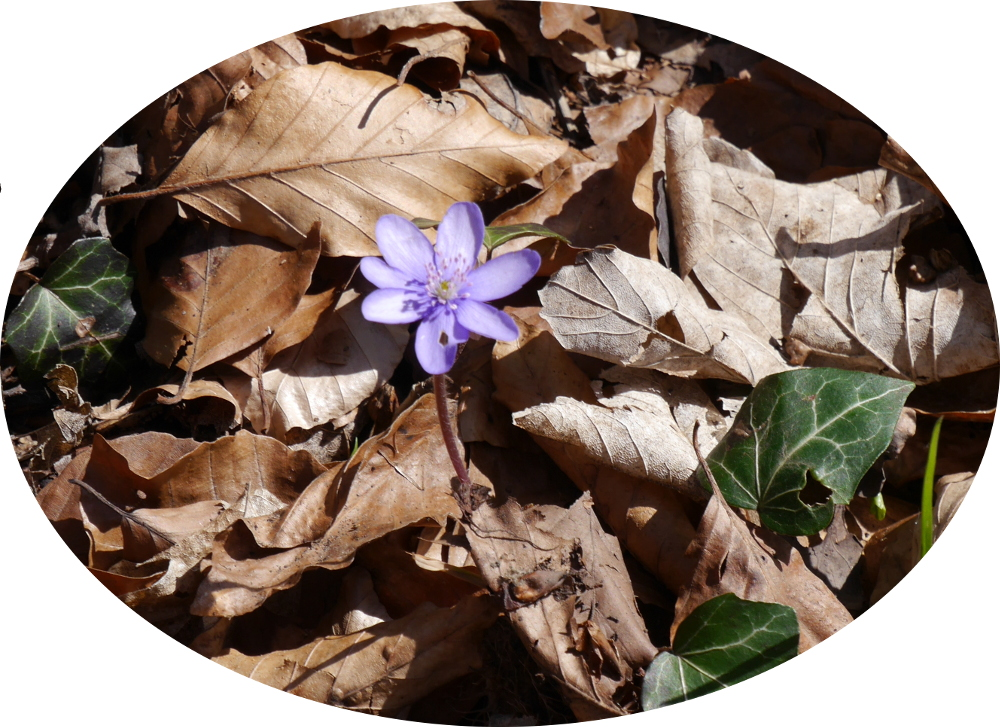 Das Foto zeigt eine lila Blüte einer kleinen Blumen, die sich durch das vertrocknete Laub gekämpft hat.