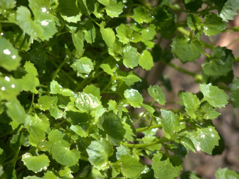 Das Foto zeigt grüne, nasse Blätter einer Pflanze. An den nassen Stellen und tropfen spiegelt und blitzt die Sonne.
