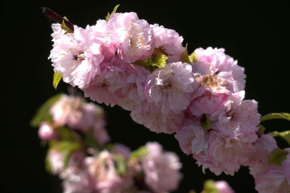 Das Foto zeigt weiß-rötliche Blüten.