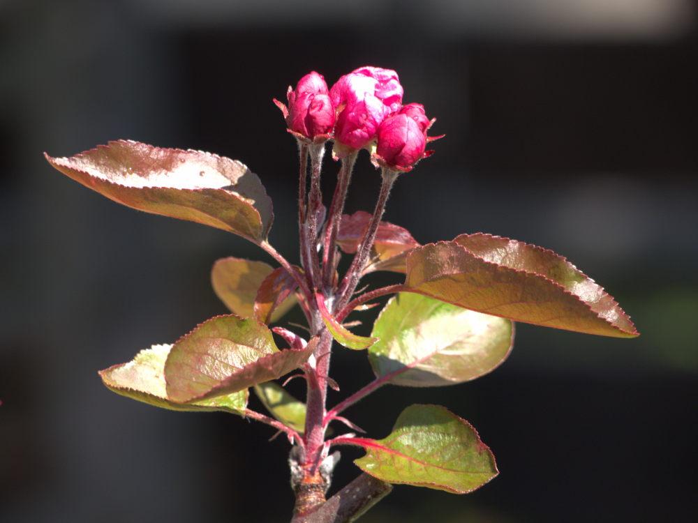Das Foto zeigt eine Apfelblüte und Blätter. An der Blüte kann man schon kleine Äpfel erkennen.