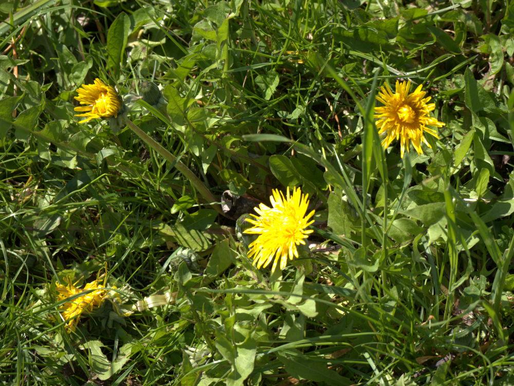 Das Foto zeigt 4 gelbe Löwenzahn-Blüten in einer Wiese.
