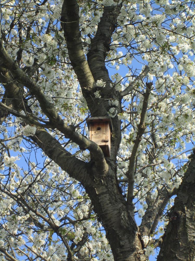 Das Foto zeigt ein Vogelhäuschen an einem alten Kirschbaum. Der Kirschbaum steht gerade in voller Blüte und man sieht überall die weißen Kirschblüten
