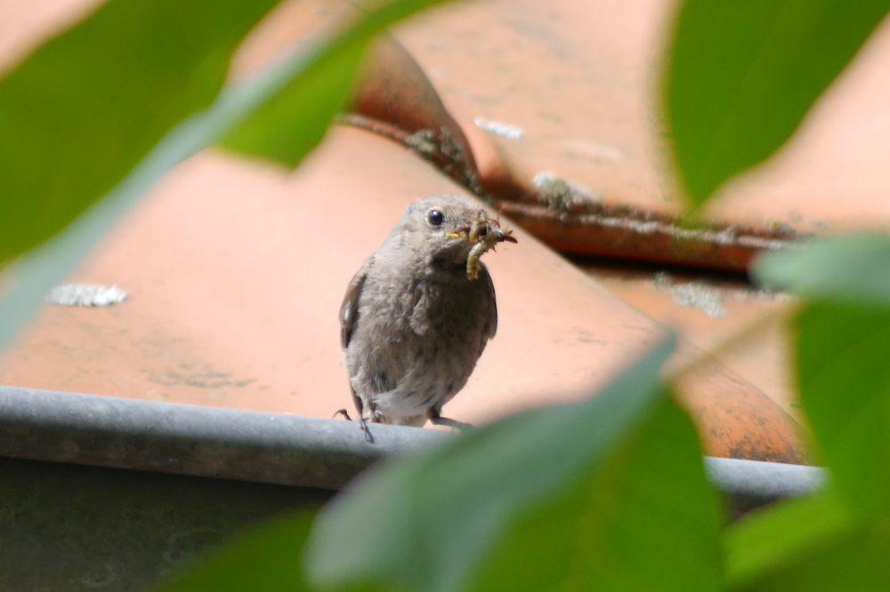 Das Foto zeigt einen kleinen Vogel, der auf einer Regenrinne eines Daches sitzt und im Schnabel einen Wurm hat, den er gleich zu seine Nest bringen will. Eingerahmt ist er von grünen Blättern eines Nussbaums