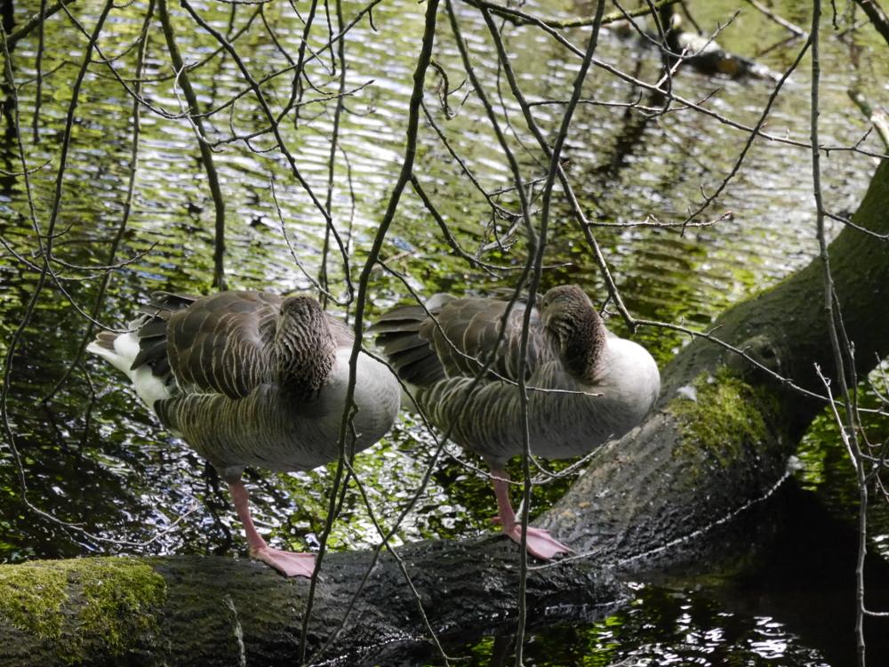 Das foto zeigt zwei Enten, die auf einem Bein auf einem Baumstamm im Wasser stehen und ihre Köpfchen im Gefieder versteckt haben.