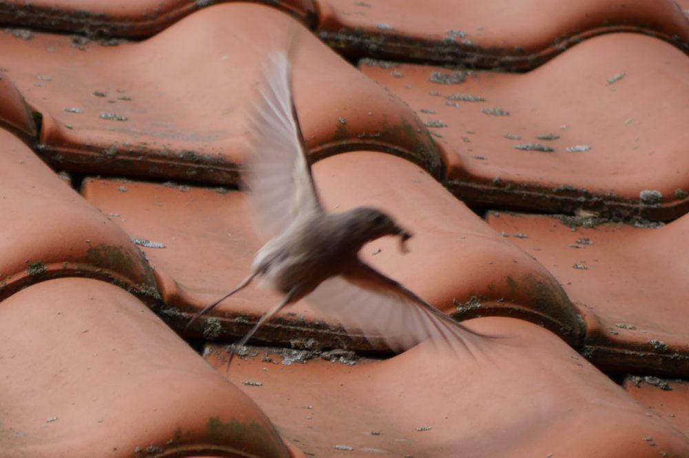 Das Foto zeigt einen startenden, unscharfen Vogel mit schlagenden Federn auf einem Dach. Im Schnabel kann man einen Wurm erahnen.