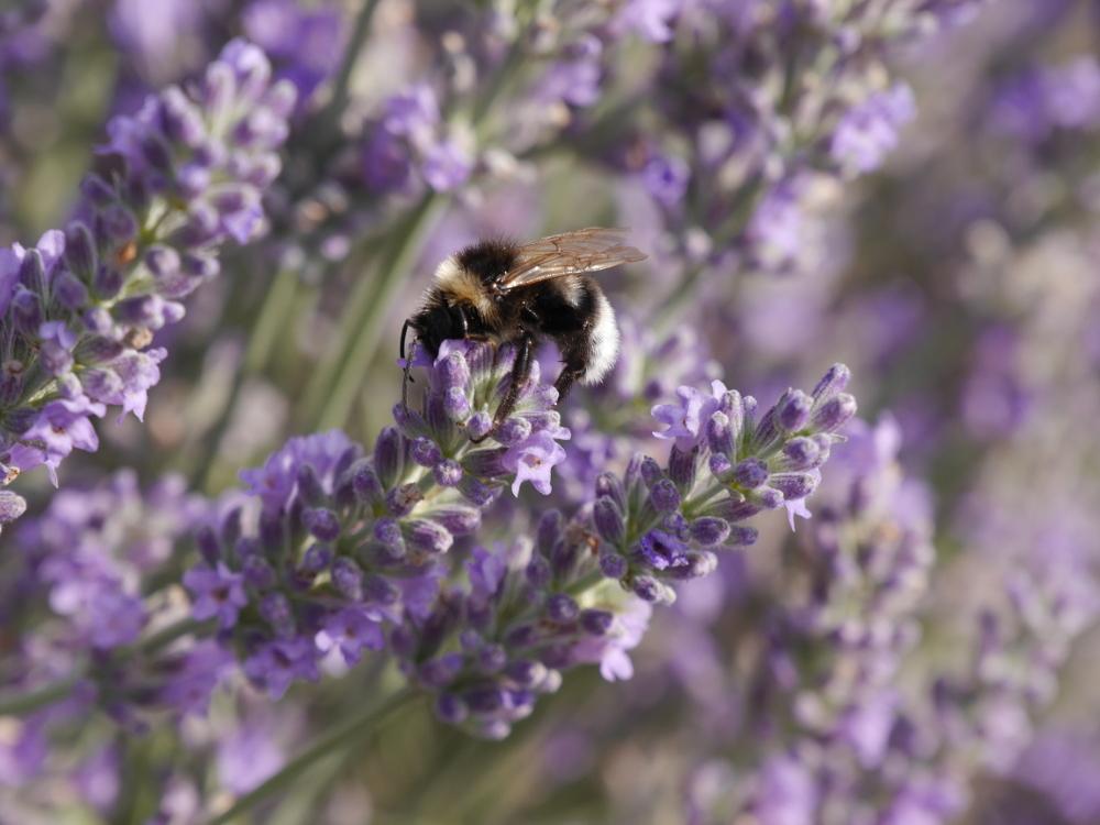 Eine Hummel auf einem Lavendelzweig