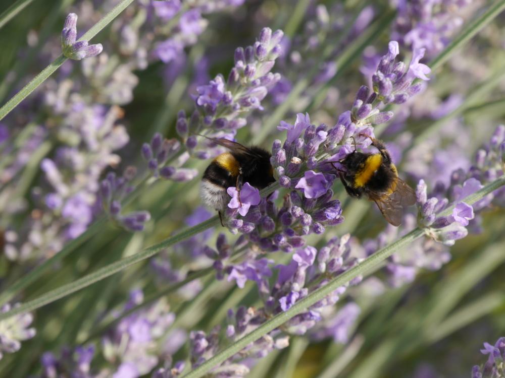ZWei Hummeln auf einem Lavendelzweig