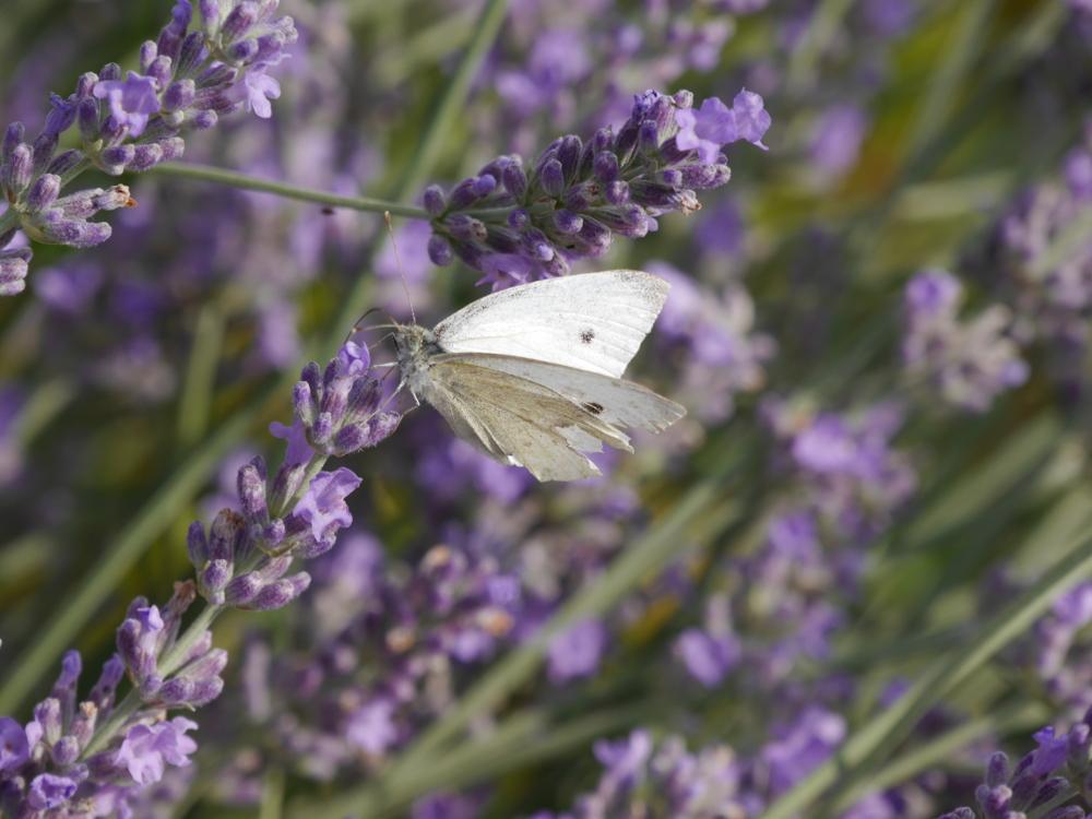Ein weißer Schmetterling an einem Lavendelzweig