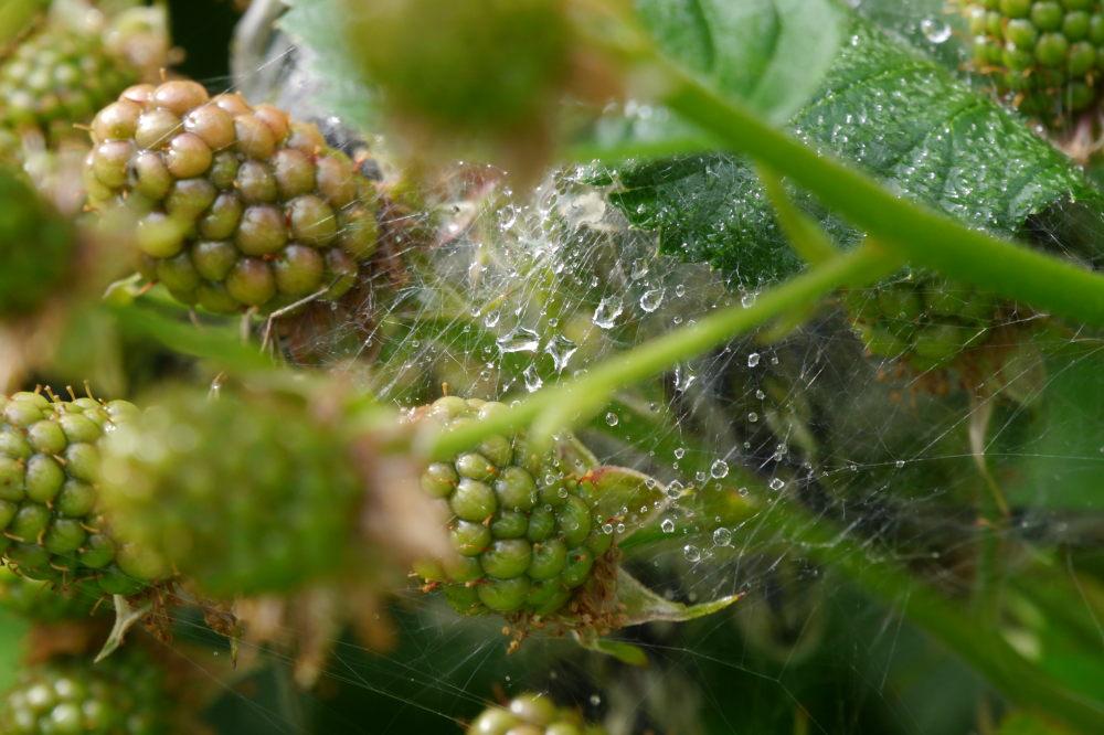 Das Foto zeigt ein Spinnennetz zwischen noch grünen Brombeeren, in dem Netz hängen Regentropfe